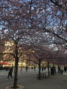 Blommande körsbärsträd i Stockholm